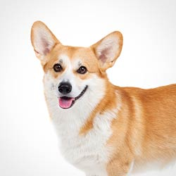 Soft Tissue Injury - Welsh Corgi