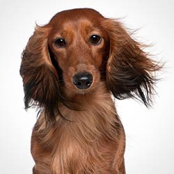 Degenerative Disc Disease - Dachshund