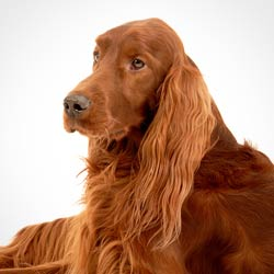 Chronic Osteoarthritis - Irish Setter