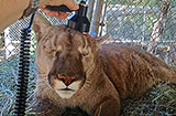 Cougar treated with THOR Low Level Laser Therapy