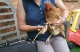 Hen treated with cold laser therapy